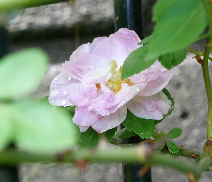 ブラッシュ・ノワゼット(ツルバラ)の花が1個咲いた。2018年-2.jpg