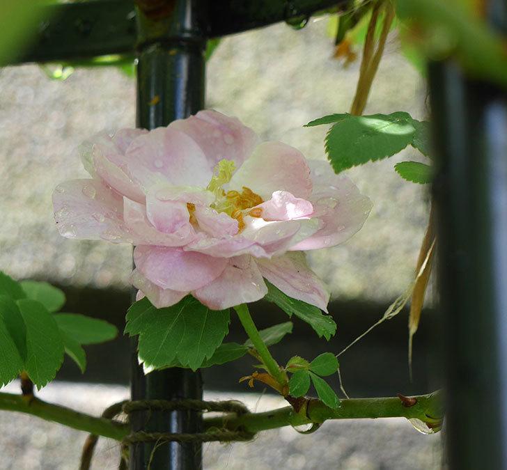 ブラッシュ・ノワゼット(ツルバラ)の花が1個咲いた。2018年-3.jpg