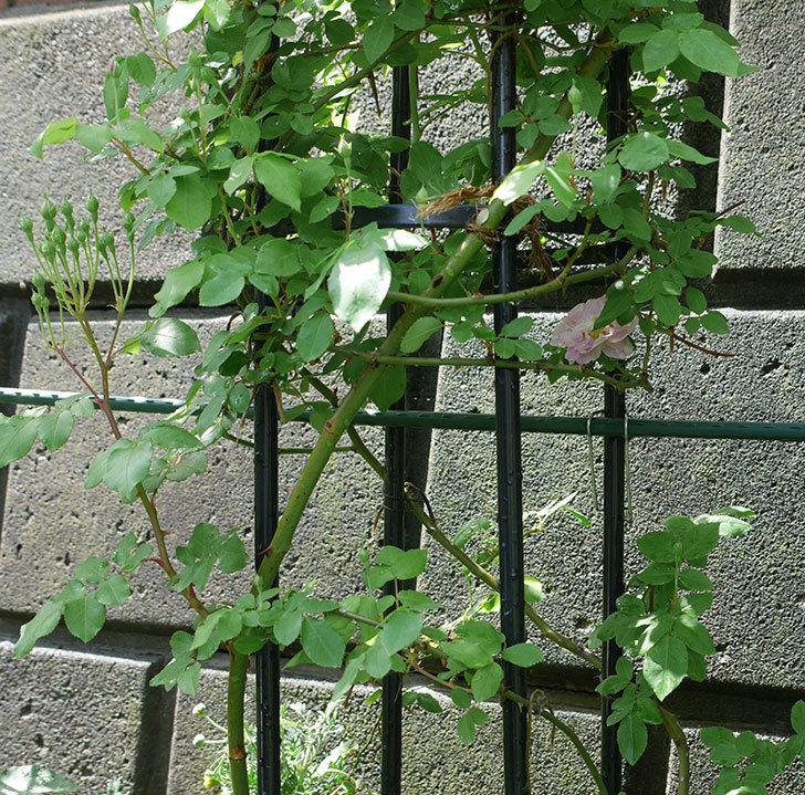 ブラッシュ・ノワゼット(ツルバラ)の花が1個咲いた。2018年-4.jpg