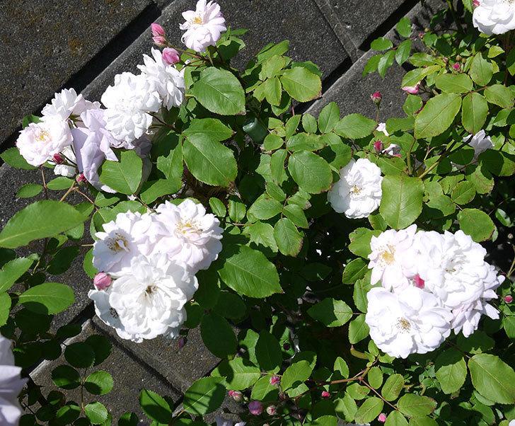 ブラッシュ・ノワゼット(ツルバラ)の花がたくさん咲いた。2017年-1.jpg