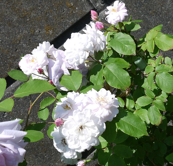 ブラッシュ・ノワゼット(ツルバラ)の花がたくさん咲いた。2017年-2.jpg