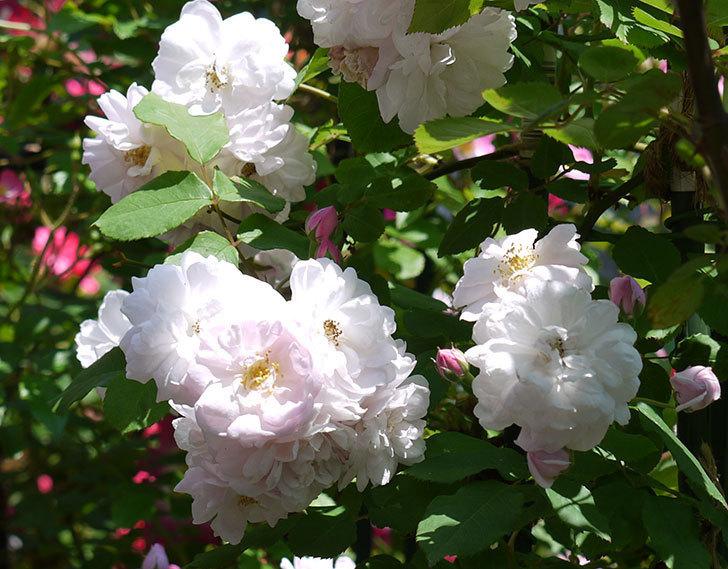 ブラッシュ・ノワゼット(ツルバラ)の花がたくさん咲いた。2017年-6.jpg