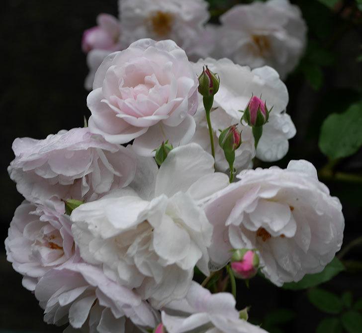 ブラッシュ・ノワゼット(ツルバラ)の花がたくさん咲いた。2018年-1.jpg