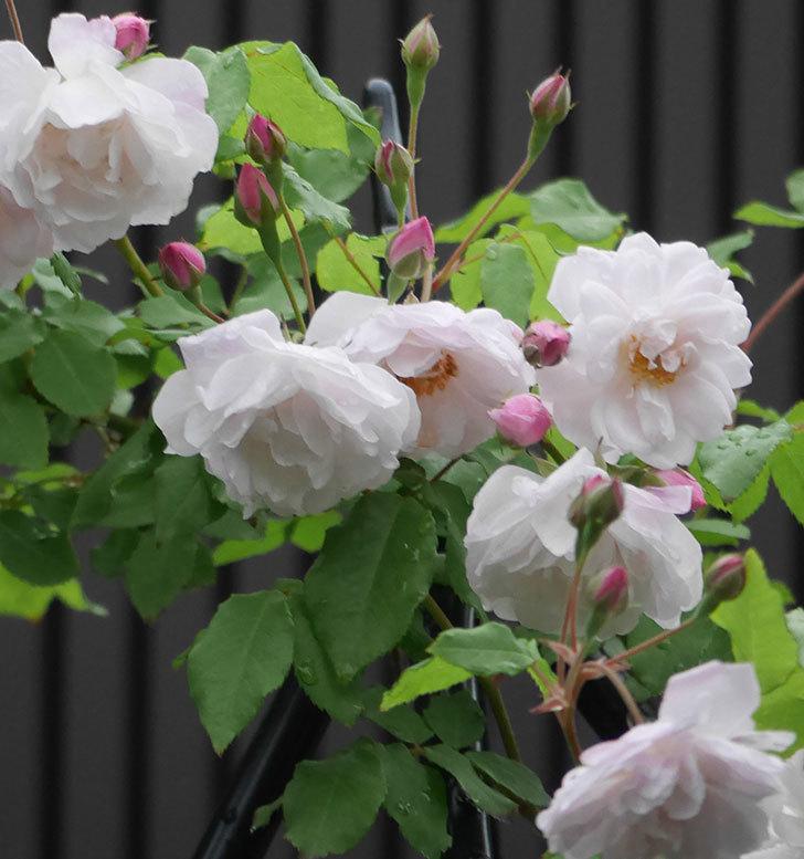ブラッシュ・ノワゼット(ツルバラ)の花がたくさん咲いた。2018年-10.jpg