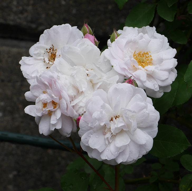 ブラッシュ・ノワゼット(ツルバラ)の花がたくさん咲いた。2018年-13.jpg