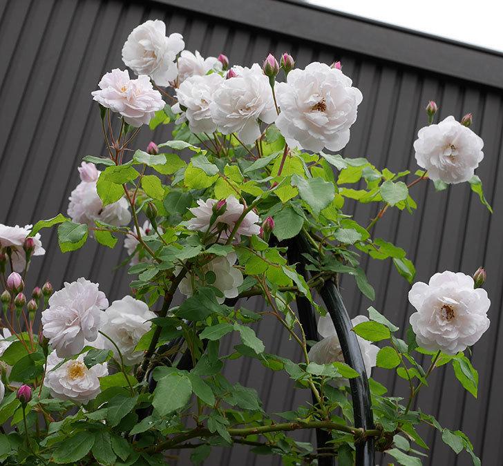 ブラッシュ・ノワゼット(ツルバラ)の花がたくさん咲いた。2018年-16.jpg