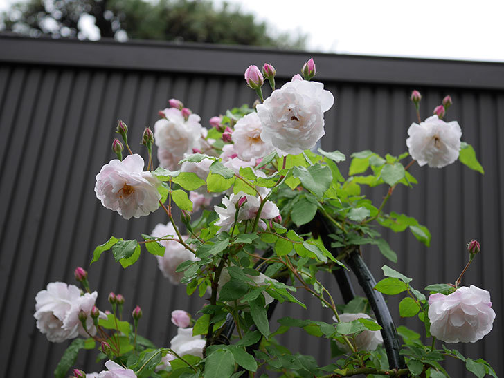 ブラッシュ・ノワゼット(ツルバラ)の花がたくさん咲いた。2018年-2.jpg
