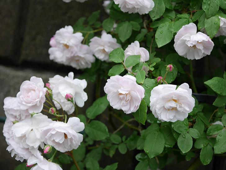 ブラッシュ・ノワゼット(ツルバラ)の花がたくさん咲いた。2018年-3.jpg