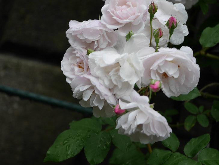 ブラッシュ・ノワゼット(ツルバラ)の花がたくさん咲いた。2018年-4.jpg