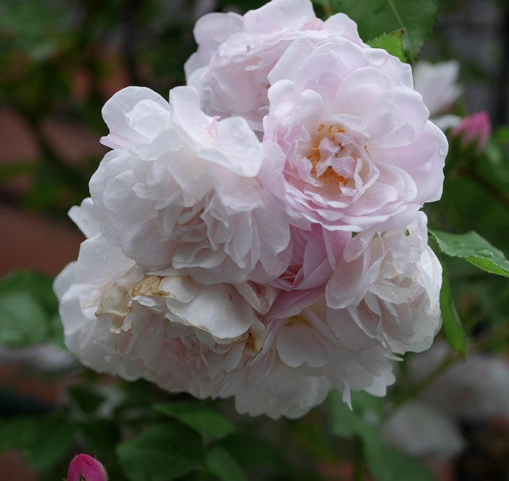 ブラッシュ・ノワゼット(ツルバラ)の花がたくさん咲いた。2018年-5.jpg