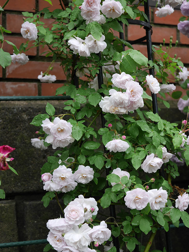 ブラッシュ・ノワゼット(ツルバラ)の花がたくさん咲いた。2018年-7.jpg