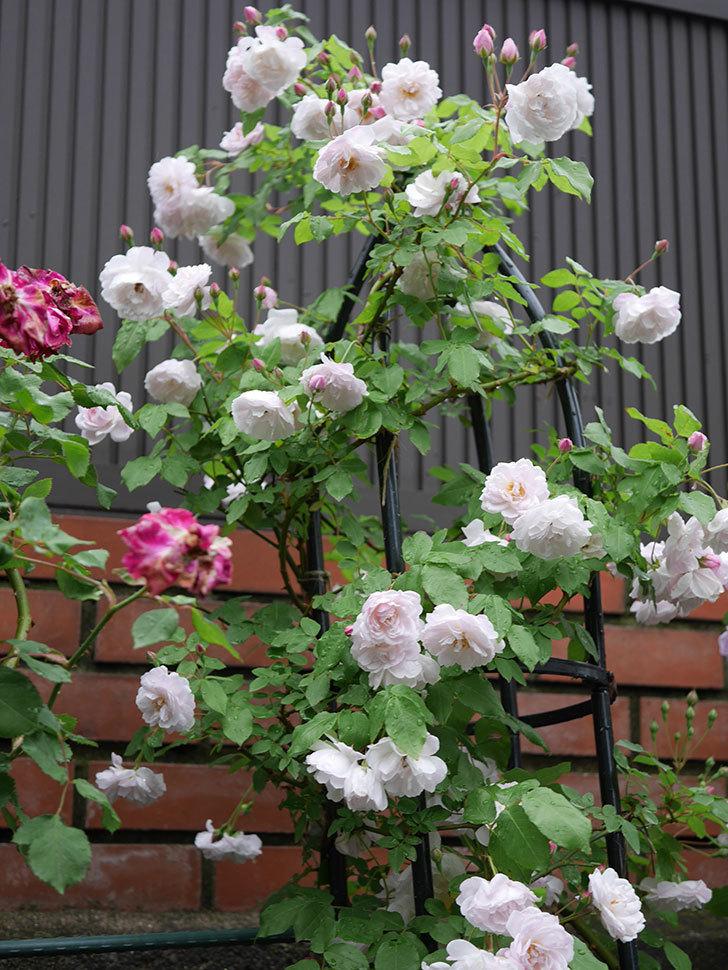 ブラッシュ・ノワゼット(ツルバラ)の花がたくさん咲いた。2018年-8.jpg