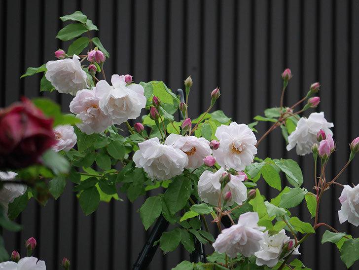 ブラッシュ・ノワゼット(ツルバラ)の花がたくさん咲いた。2018年-9.jpg