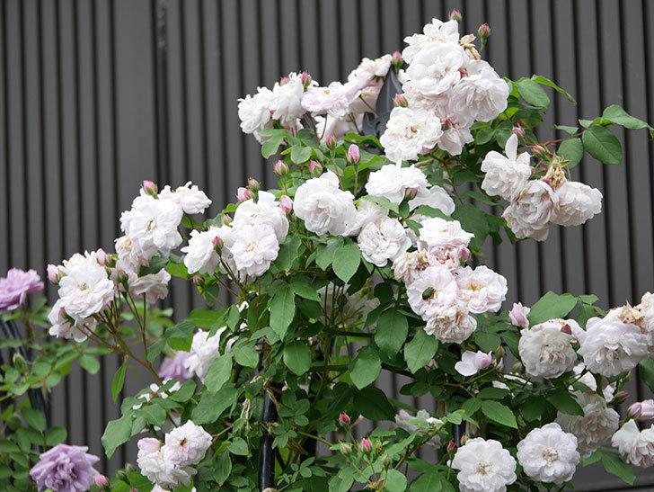 ブラッシュ・ノワゼット(ツルバラ)の花がたくさん咲いた。2019年-1.jpg