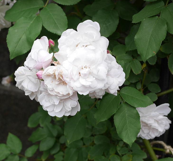 ブラッシュ・ノワゼット(ツルバラ)の花がたくさん咲いた。2019年-12.jpg