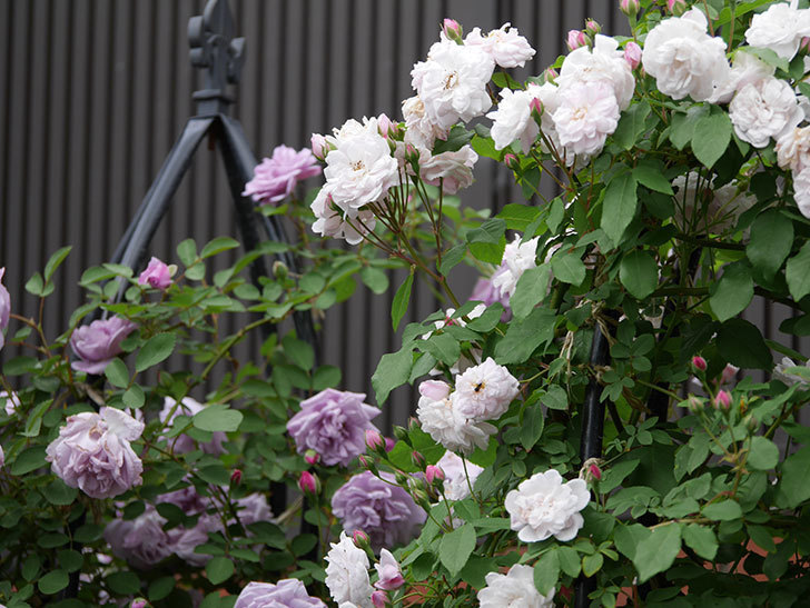 ブラッシュ・ノワゼット(ツルバラ)の花がたくさん咲いた。2019年-3.jpg