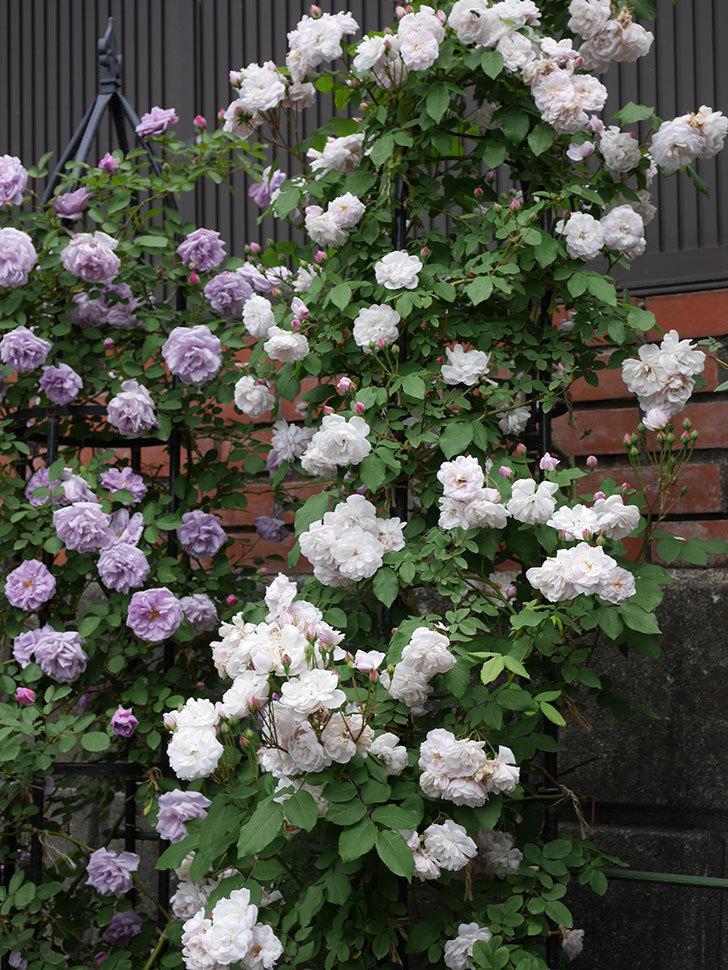 ブラッシュ・ノワゼット(ツルバラ)の花がたくさん咲いた。2019年-9.jpg