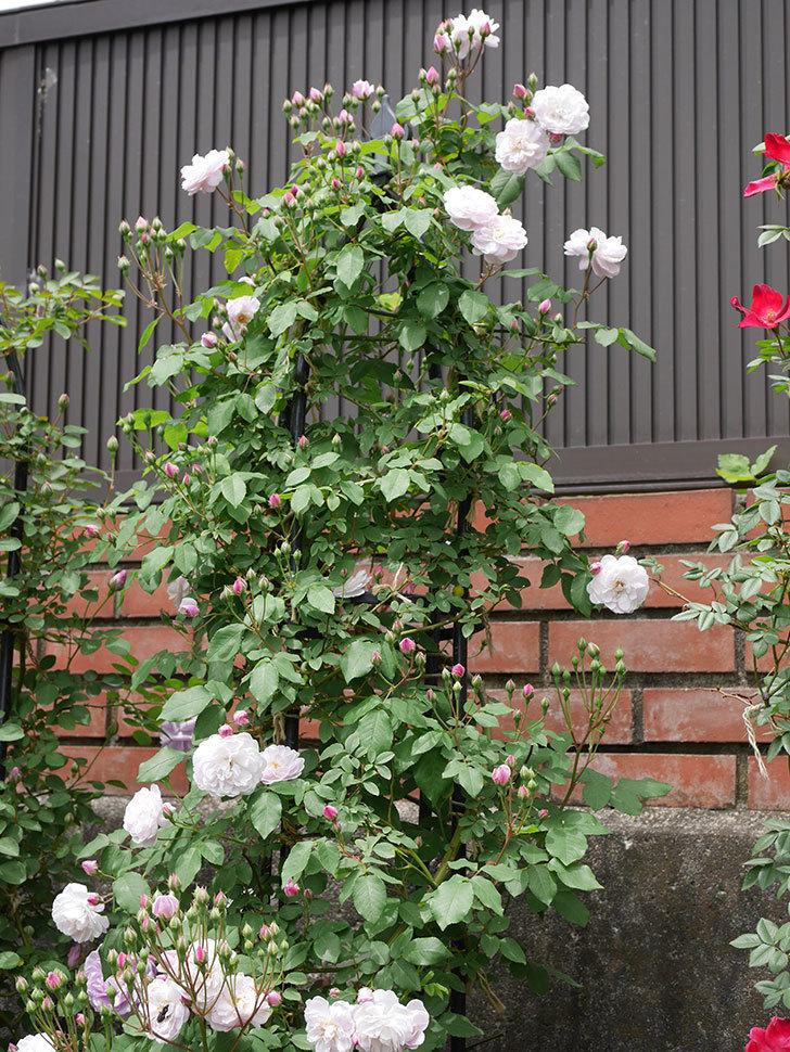 ブラッシュ・ノワゼット(ツルバラ)の花が咲いた。2019年-1.jpg