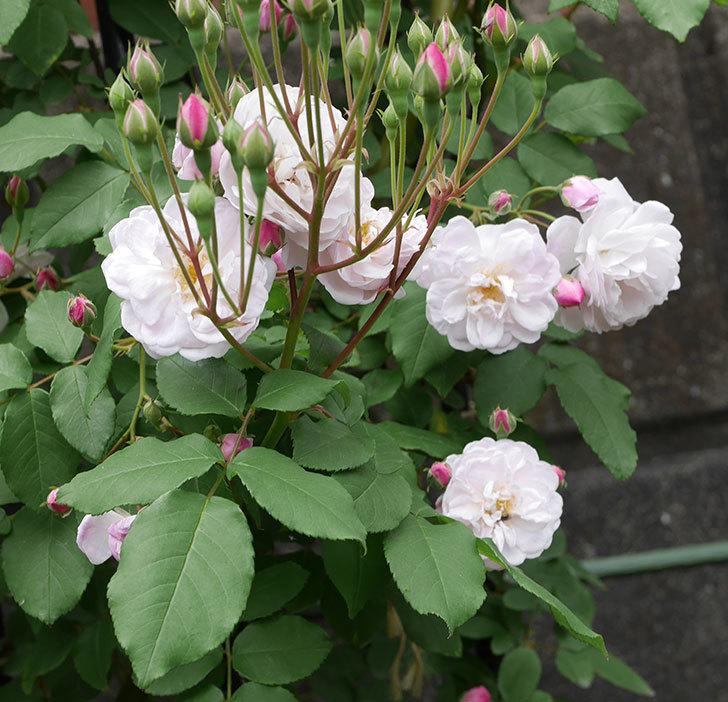 ブラッシュ・ノワゼット(ツルバラ)の花が咲いた。2019年-10.jpg