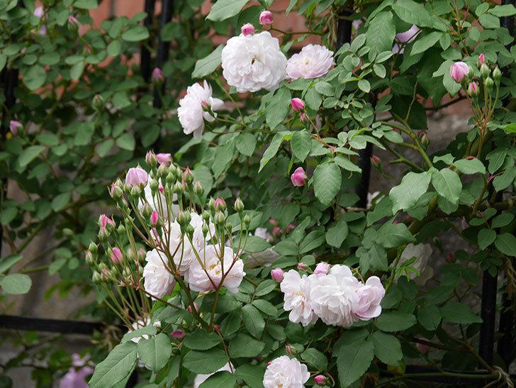 ブラッシュ・ノワゼット(ツルバラ)の花が咲いた。2019年-11.jpg