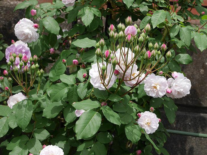 ブラッシュ・ノワゼット(ツルバラ)の花が咲いた。2019年-2.jpg