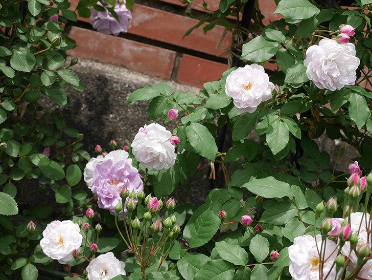 ブラッシュ・ノワゼット(ツルバラ)の花が咲いた。2019年-3.jpg