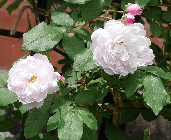 ブラッシュ・ノワゼット(ツルバラ)の花が咲いた。2019年-4.jpg
