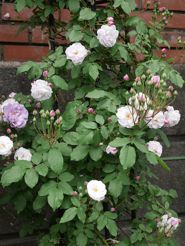 ブラッシュ・ノワゼット(ツルバラ)の花が咲いた。2019年-5.jpg