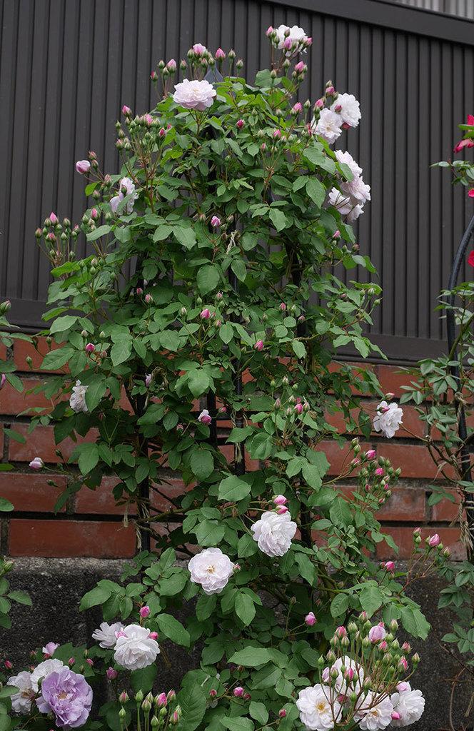 ブラッシュ・ノワゼット(ツルバラ)の花が咲いた。2019年-6.jpg
