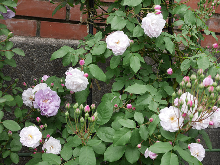 ブラッシュ・ノワゼット(ツルバラ)の花が咲いた。2019年-8.jpg