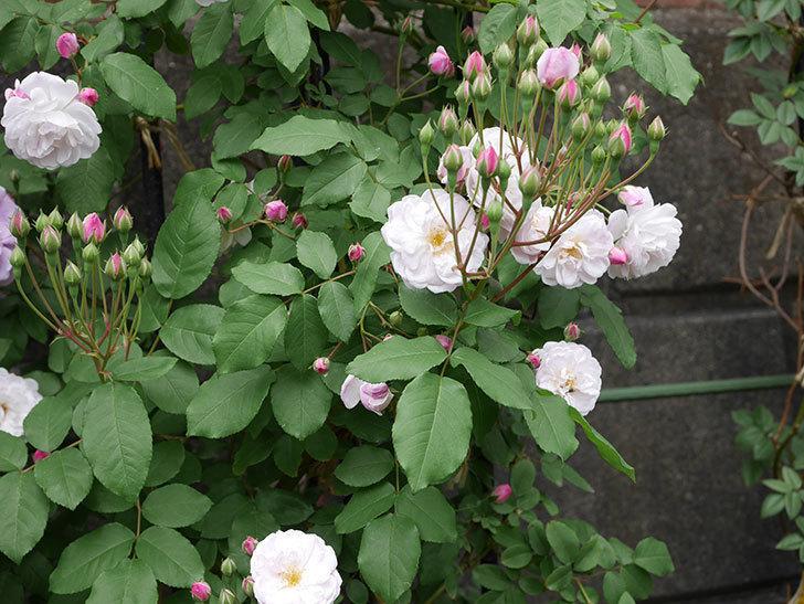ブラッシュ・ノワゼット(ツルバラ)の花が咲いた。2019年-9.jpg