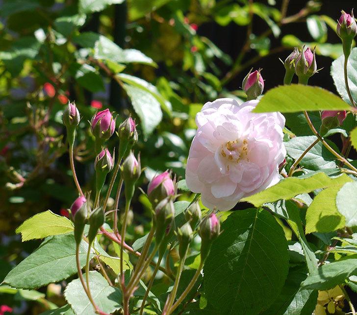 ブラッシュ・ノワゼット(ツルバラ)の花が咲きだした。2017年-1.jpg