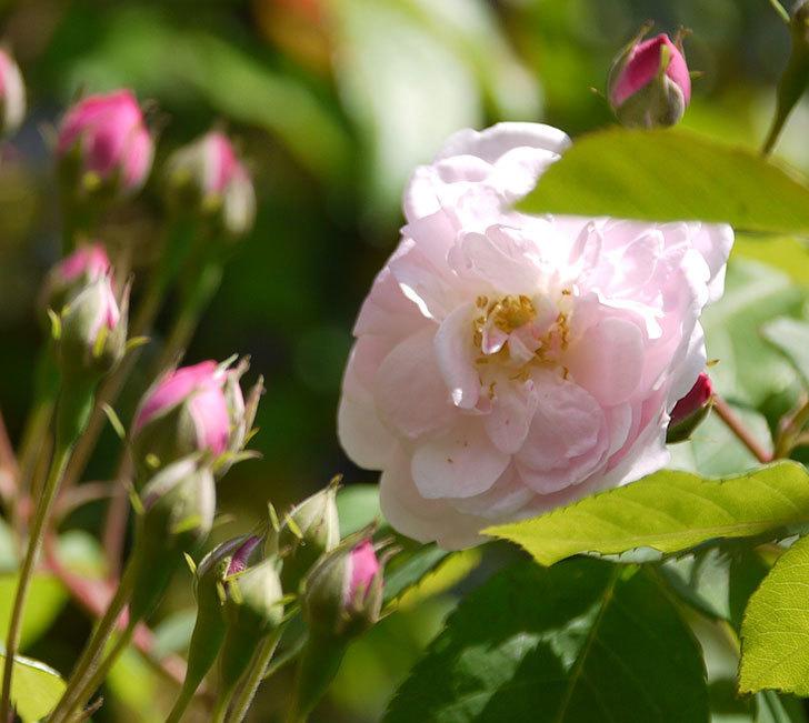 ブラッシュ・ノワゼット(ツルバラ)の花が咲きだした。2017年-10.jpg