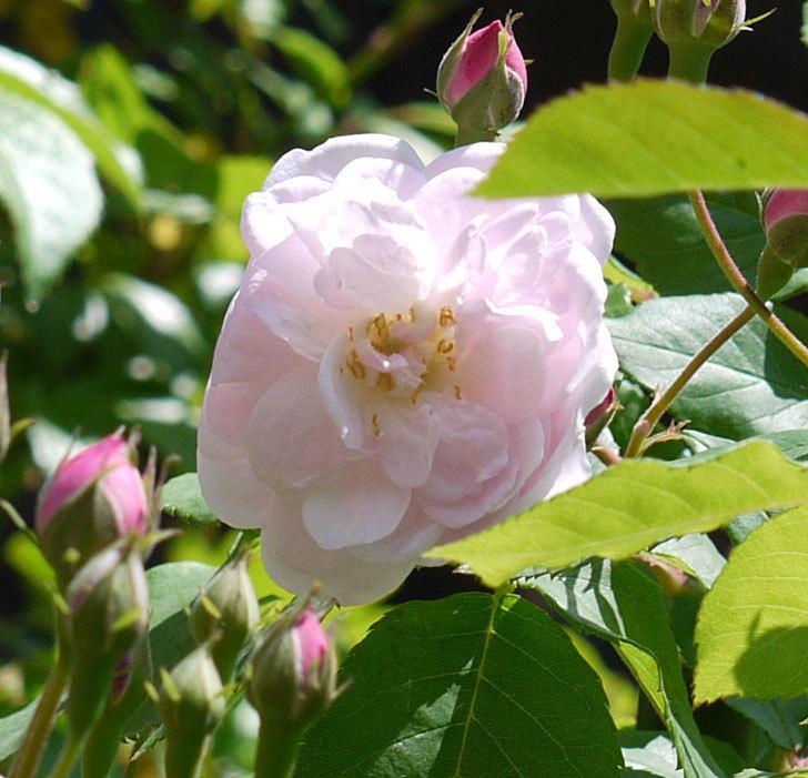 ブラッシュ・ノワゼット(ツルバラ)の花が咲きだした。2017年-2.jpg