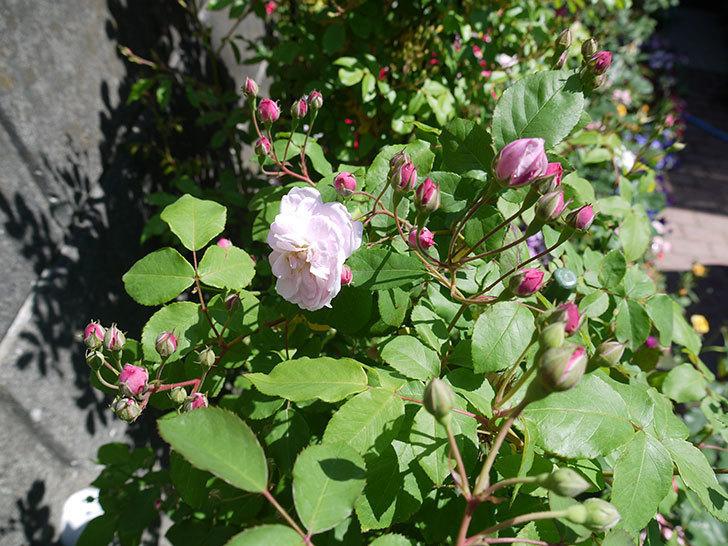 ブラッシュ・ノワゼット(ツルバラ)の花が咲きだした。2017年-3.jpg