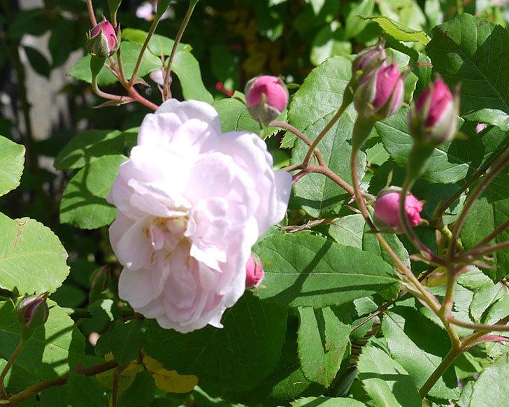 ブラッシュ・ノワゼット(ツルバラ)の花が咲きだした。2017年-4.jpg