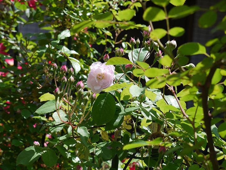 ブラッシュ・ノワゼット(ツルバラ)の花が咲きだした。2017年-5.jpg