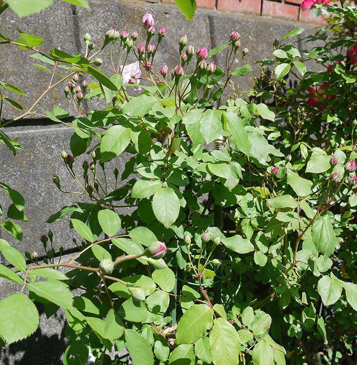 ブラッシュ・ノワゼット(ツルバラ)の花が咲きだした。2017年-6.jpg