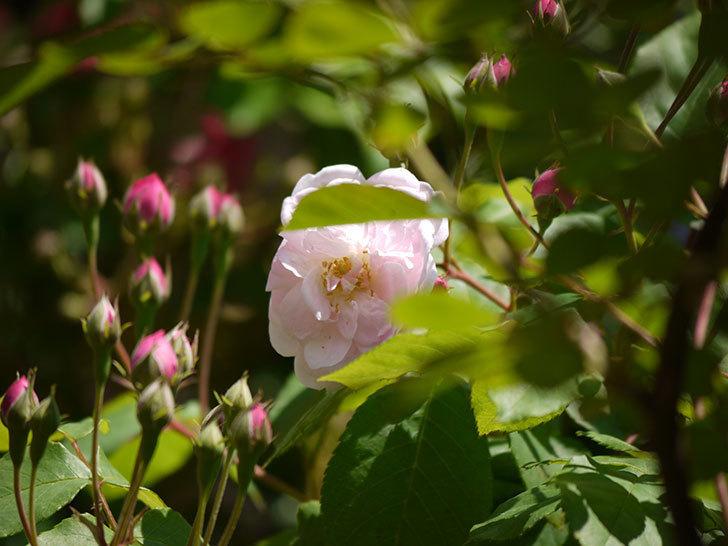 ブラッシュ・ノワゼット(ツルバラ)の花が咲きだした。2017年-7.jpg