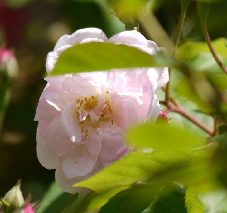 ブラッシュ・ノワゼット(ツルバラ)の花が咲きだした。2017年-8.jpg