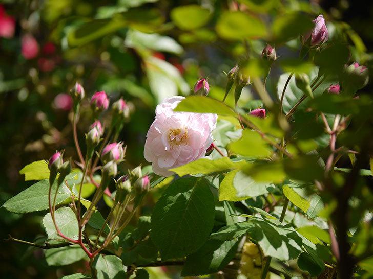ブラッシュ・ノワゼット(ツルバラ)の花が咲きだした。2017年-9.jpg
