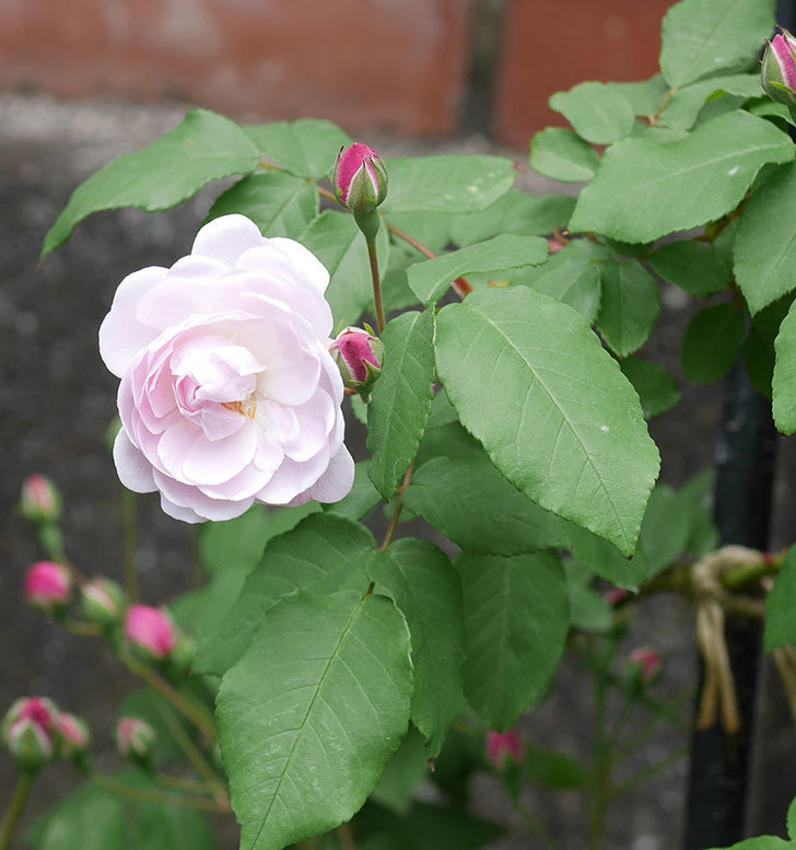 ブラッシュ・ノワゼット(ツルバラ)の花が咲きだした。2019年-1.jpg