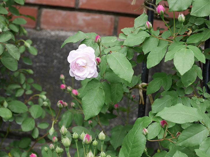 ブラッシュ・ノワゼット(ツルバラ)の花が咲きだした。2019年-2.jpg