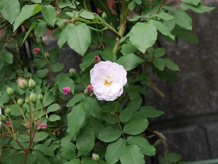 ブラッシュ・ノワゼット(ツルバラ)の花が咲きだした。2019年-3.jpg