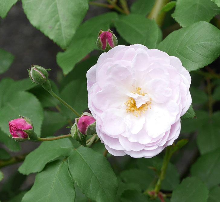 ブラッシュ・ノワゼット(ツルバラ)の花が咲きだした。2019年-4.jpg