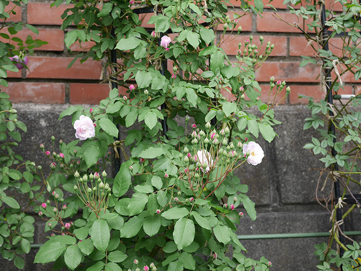 ブラッシュ・ノワゼット(ツルバラ)の花が咲きだした。2019年-6.jpg