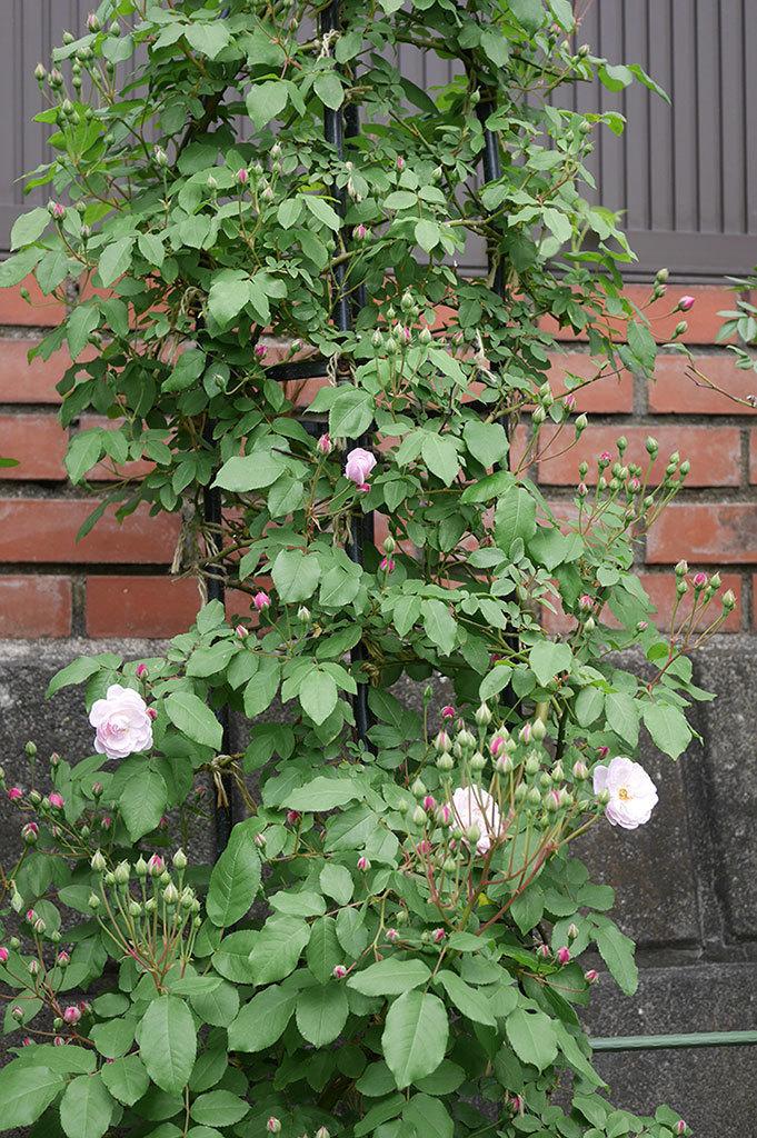 ブラッシュ・ノワゼット(ツルバラ)の花が咲きだした。2019年-7.jpg