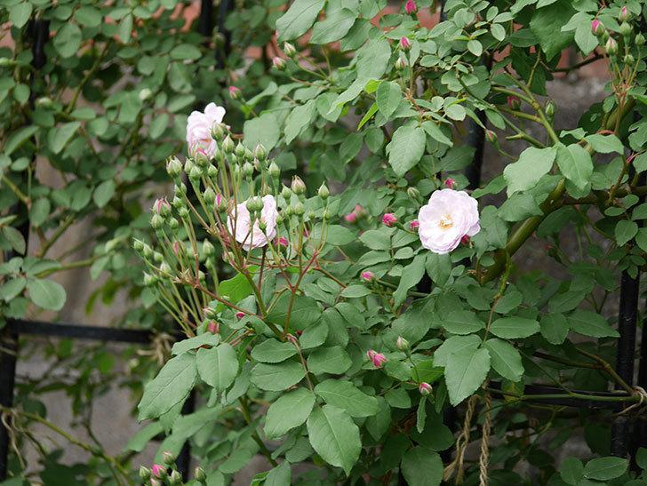 ブラッシュ・ノワゼット(ツルバラ)の花が咲きだした。2019年-8.jpg
