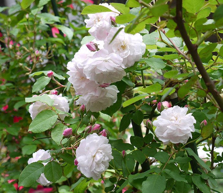 ブラッシュ・ノワゼット(ツルバラ)の花が増えてきた。2017年-1.jpg