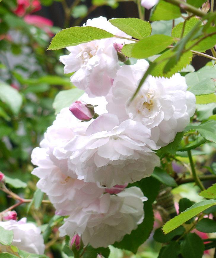 ブラッシュ・ノワゼット(ツルバラ)の花が増えてきた。2017年-2.jpg